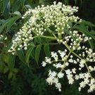 Rare Organic Nimtree Neem Azadirachta indica - 20 Seeds