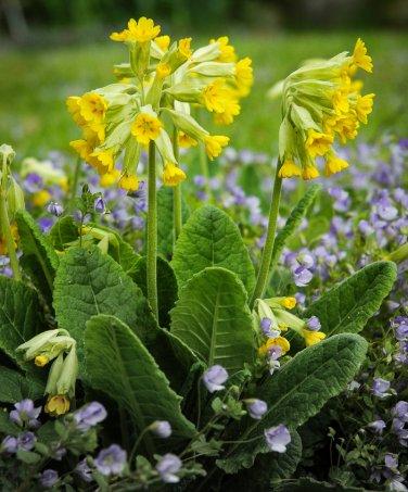 Rare Wild Schlüsselblume Organic Cowslip Primula veris officinalis - 50 Seeds