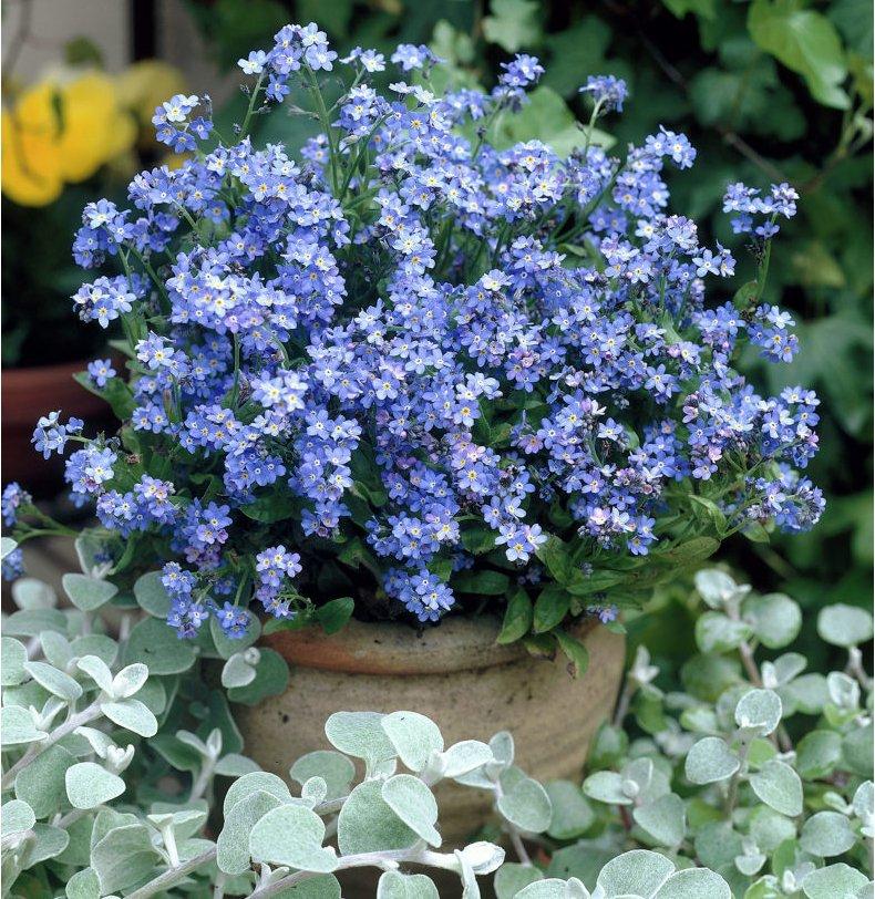 Blue Forget Me Not Myosotis Alpestris sylvatica - 100 Seeds