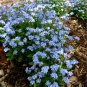 Blue Forget Me Not Myosotis Alpestris sylvatica - 100 Seeds