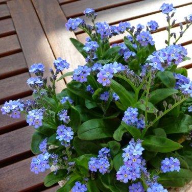 Fairy Garden Forget Me Not Myosotis Sylvatica - 100 Seeds