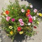 Fairy Garden Portulaca Moss Rose Portulaca grandiflora - 100 Seeds