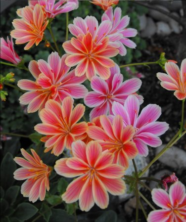 Showy Cliff Maid Lewisia Cotyledon Mix  - 20 Seeds