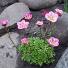 Fairy Garden Rockfoil Pink Shades Saxifraga x arendsii  - 50 Seeds