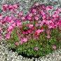 Fairy Garden Rockfoil Pink Shades Saxifraga x arendsii  - 50 Seeds