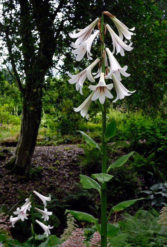 'Queen of the Garden' Giant Himalayan Tree Lily Cardiocrinum giganteum - 8 Seeds