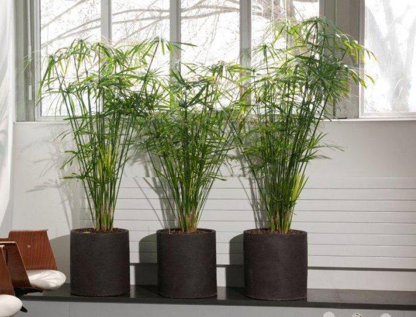 Seeds Cyperus alternifolius Umbrella Plant Seeds 200 Papyrus Grass