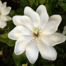 Rare South African Wild Starry Gardenia Gardenia thunbergia - 15 Seeds