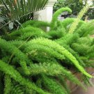 Foxtail Fern Myers Asparagus densiflorus 'Myersii'  - 20 Seeds