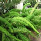 Foxtail Fern Myers Asparagus densiflorus 'Myersii'  - 20 Seeds