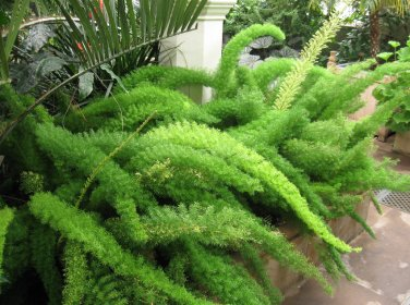 Foxtail Fern Myers Asparagus Densiflorus Myersii 20 Seeds
