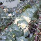 Rare Silver Leaf Mountain Gum 'Baby Blue' Florist Eucalyptus pulverulenta - 25 Seeds