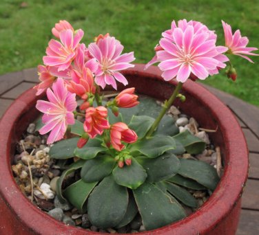 Fairy Garden Unusual Siskiyou Lewisia Cotyledon Mix  - 20 Seeds