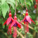 Hardy Fuchsia Fuchsia magellanica - 20 Seeds
