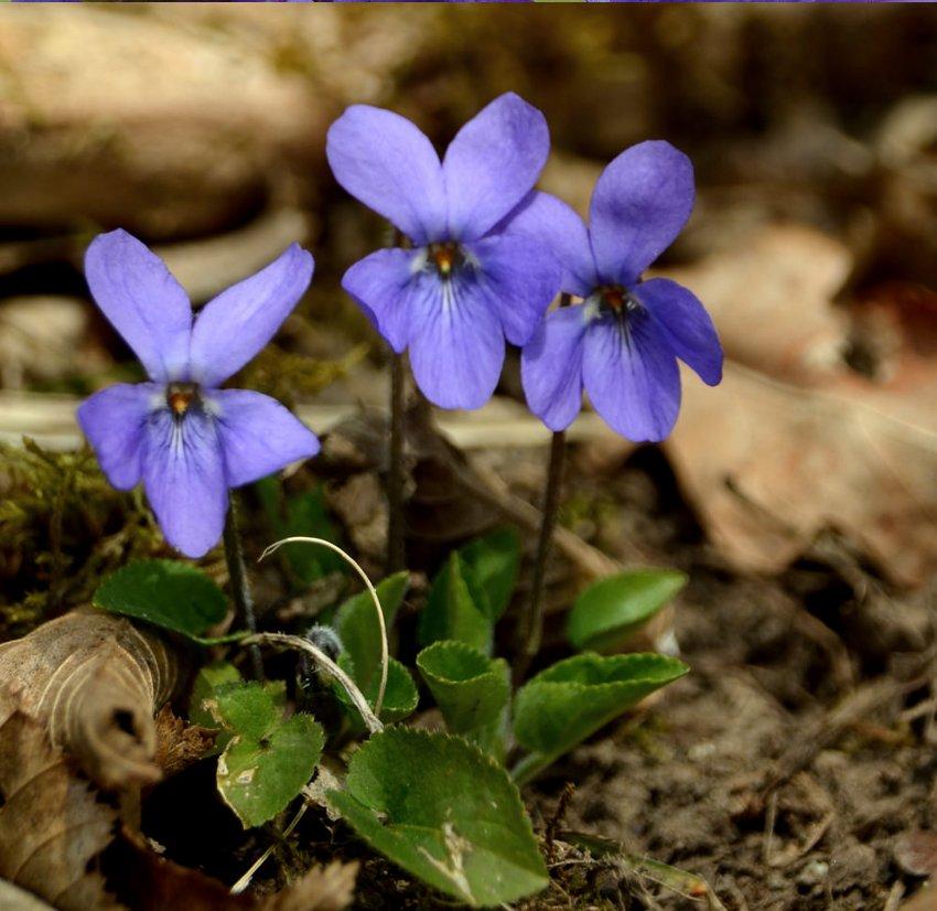Fairy Garden Sweet Violet Viola Odorata - 30 Seeds