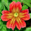 Stained Glass Flower Mix Salpiglossis grandiflora - 200 Seeds