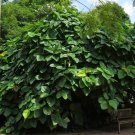 Elephant Ear Roxburgh Fig Ficus auriculata roxburghii - 20 Seeds