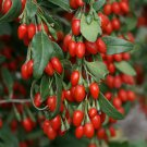 Himalayan Goji Berry Lycium barbarum - 25 Seeds