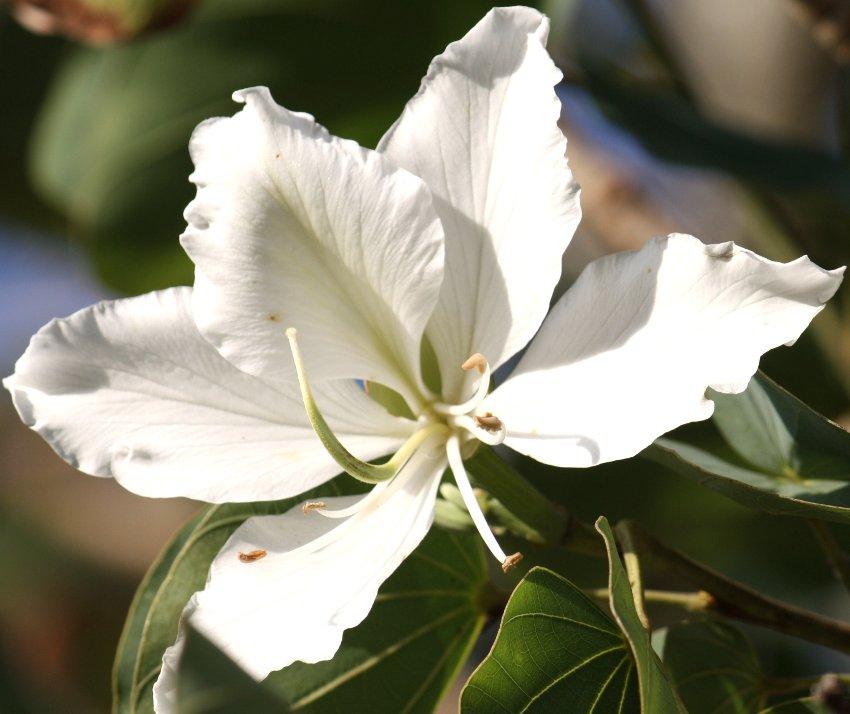 white hong kong orchid tree bauhinia variegata candida alba