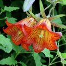 Canary Bell Flower Canarina Canariensis Extremely RARE - 15 Seeds