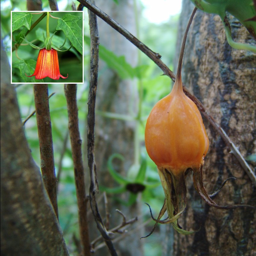 Canary El Bicácaro Canarina Canariensis Extremely RARE - 15 Seeds