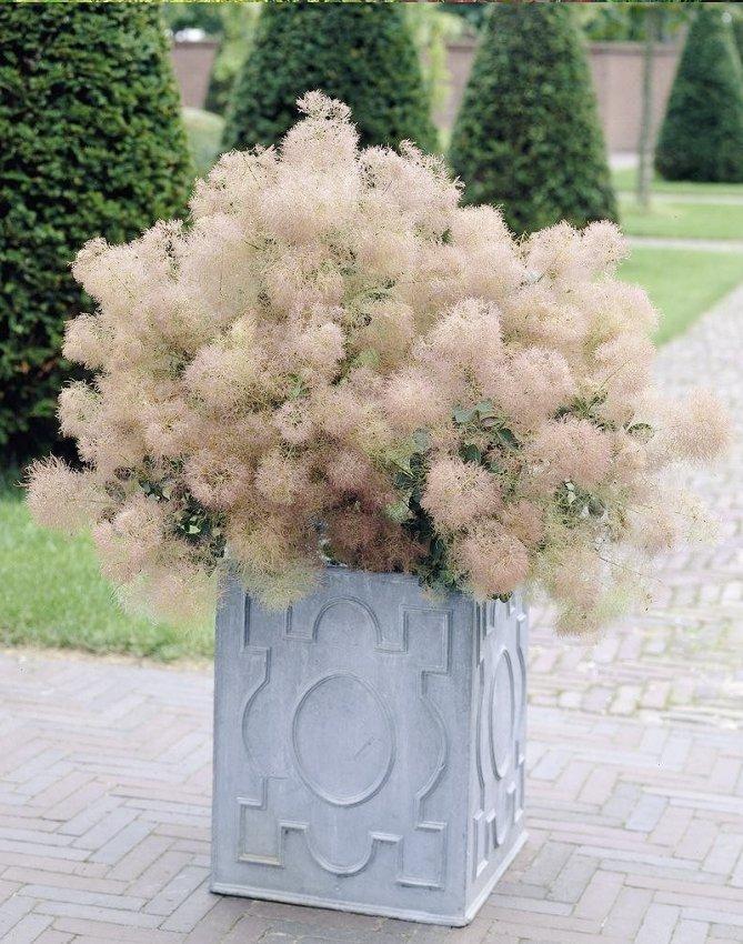 Hardy European Smokebush Cotinus Coggygria - 25 Seeds