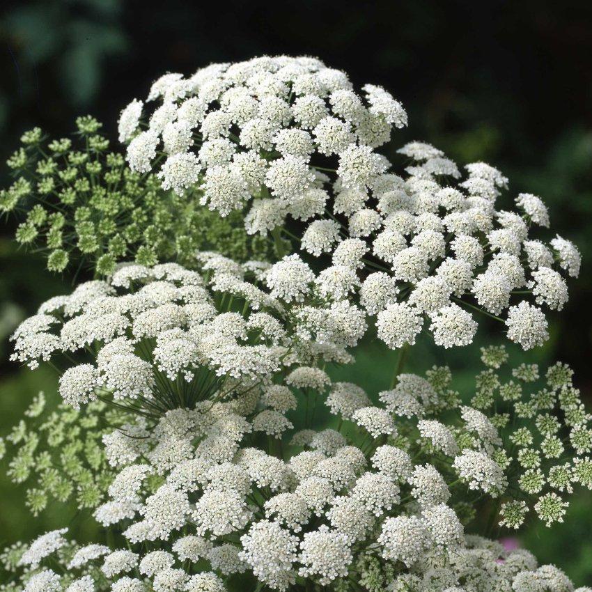 Beautiful Lace Flower Ammi majus - 200 Seeds