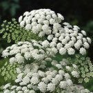 Beautiful Lace Flower Ammi majus - 200 Seeds