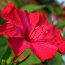 Crimson Red Marvel of Peru Mirabilis jalapa - 30 Seeds
