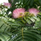Fragrant Southern Mimosa Silk Tree - 15 Seeds