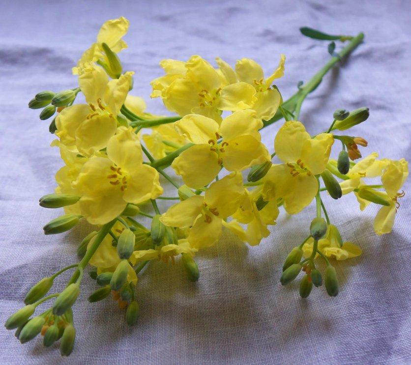 Edible Flowers Mustard Plant Organic Brassica juncea - 300 Seeds