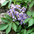 Purple St. Vincent Vine Solanum Seaforthianum - 10 Seeds