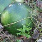 Giant African Bushel Basket Gourd Lagenaria siceraria - 10 Seeds