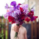 Sweet Pea Flower 'Royal Family' Lathyrus odoratus - 40 Seeds