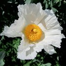 White California Fried Egg Poppy Matilija Romneya coulteri - 50 Seeds