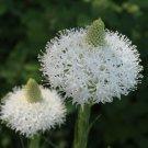 Alpine Bear Grass Xerophyllum tenax - 100 Seeds