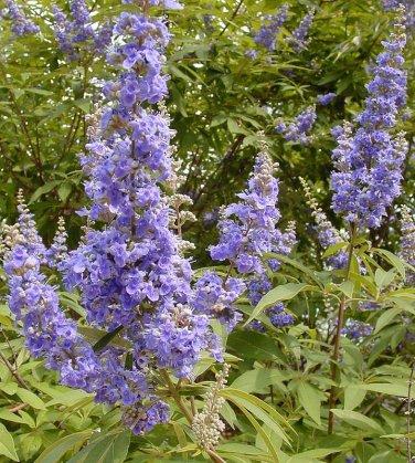Blue Vitex Chaste Tree Vitex agnus-castus - 20 Seeds