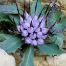 Scarce Tufted Horned Rampion Hardy Devil's Claw Physoplexis comosa - 25 Seeds