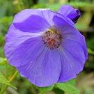 Unusual Blue Flowering Maple Abutilon vitifolium - 15 Seeds
