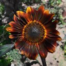 Branching Sunflower 'Velvet Queen' Helianthus annuus  - 30 Seeds