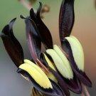 Outback Black Coral Vine Kennedia Nigricans - 10 Seeds