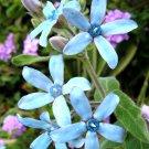Turquoise Blue Star Milkweed Vine Rare Tweedia Oxypetalum caeruleum - 10 Seeds