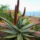 Red Cape Aloe Aloe ferox candelabrum - 15 Seeds