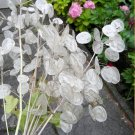 Honesty Money Plant Silver Dollar Lunaria biennis annua - 50 Seeds