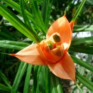 Rare Flowering Pandanus Freycinetia cumingiana - 10 Seeds
