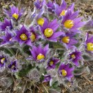 Purple Pasque Flower Anemone Pulsatilla vulgaris - 20 Seeds