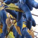 Bizarre 'Dead Man Fingers' Decaisna fargesii - 5 Seeds
