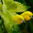 Rare Little Yellow Rattle Rhinanthus minor - 100 Seeds