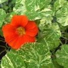 Edible Flowers Organic Variegated Nasturtium Tropaeolum Majus Alaska - 25 Seeds