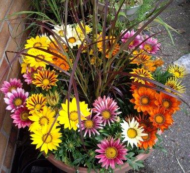 Fairy Garden Gazania Bright Day Mix Gazania rigens - 20 Seeds